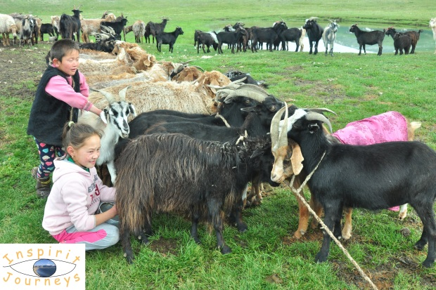 mongolian-goat-1